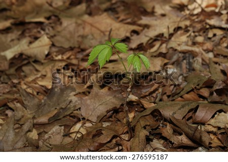 A Sapling Starting to Grow Through the Leaves on the Forest Floor - stock photo