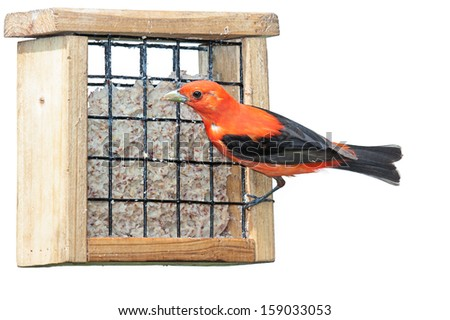 A scarlet tanager eating at a suet feeder. This elusive songbird flamboyantly exhibits its vivid and brilliant reddish orange plumage. white background - stock photo