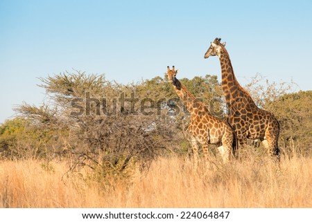 A scenic view of a pair of giraffes in a thorn tree scene - stock photo