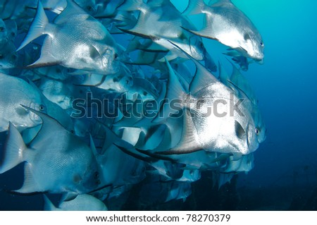 A school of Atlantic Spadefish swimming near a shipwreck. - stock photo