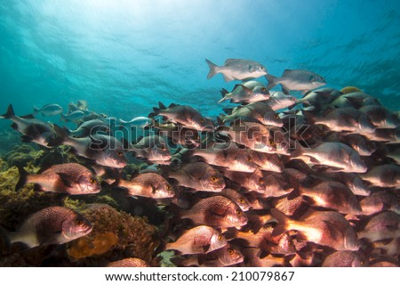 A school of black margate fish swimming on the reef in Belize - stock photo