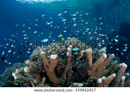 A school of damselfish (Chromis viridis) swim above reef-building corals grow in shallow water in the Solomon Islands.  This area is found within the Coral Triangle and is high biological diversity. - stock photo