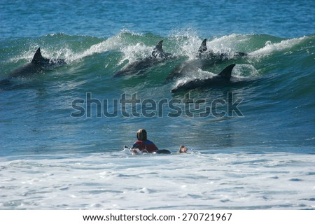 A school of dolphins ride a wave in front of a surfer as he paddles out. - stock photo