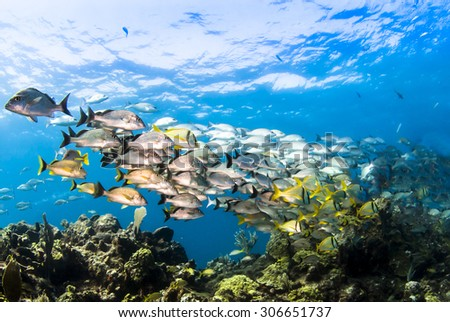 A school of pork fish swimming off the coast of Mexico - stock photo