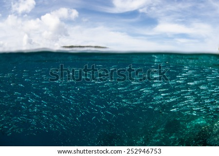 A school of silversides, a species of bait fish, swims just under the surface of the tropical Pacific Ocean near an island in Raja Ampat, Indonesia. These fish serve as food for many fish and birds. - stock photo
