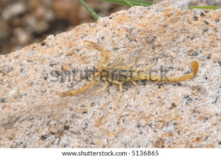 A scorpion photographed in the mountains of southern Arizona. - stock photo