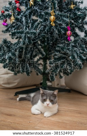 A scottish fold lays on the wooden floor in front of the Christmas tree - stock photo