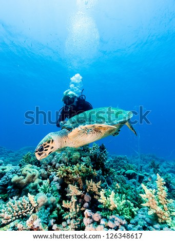 A SCUBA diver swims next to a hawksbill turtle - stock photo