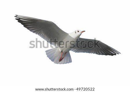A sea gull of a big wing flies to a background in the white back. - stock photo
