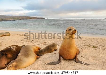A sea lion family, San Cristobal, Galapagos Islands, Ecuador - stock photo