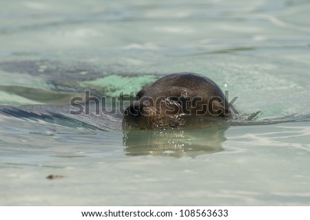 A sea lion goes for a cooling swim in the waters off the Galapagos Islands - stock photo