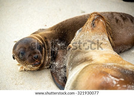A sea lion mother and her pup relaxing in the Galapagos Islands in Ecuador - stock photo