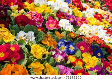 a sea of primroses - stock photo