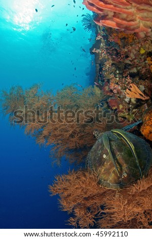 a sea turtle with two remoras on its back taking a rest at soft coral around the wall at Bunaken, Manado, Indonesia - stock photo