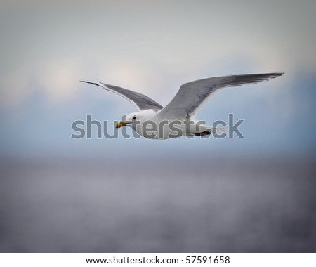 A seagull soars off the coast of Homer Alaska - stock photo