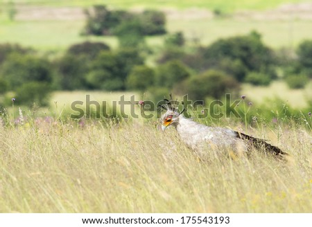 A secretary bird in grassy veld with flowers and green tree background - stock photo
