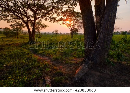 a selective focus of a big tree on sunset at agriculture farmland - stock photo
