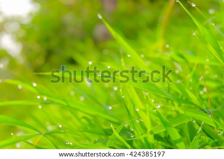 a selective focus of rain drops on green grass leaves and natural green blurred background - stock photo
