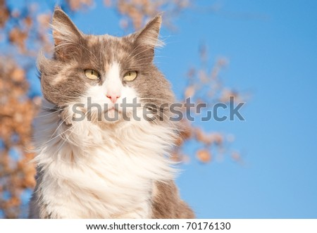 A serious looking diluted calico cat against a tree with dry leaves and blue sky - stock photo