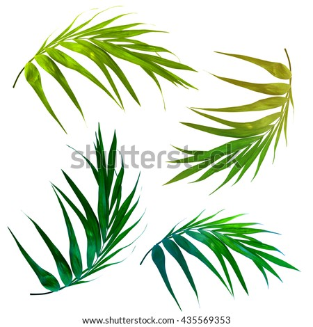 a set of four tropical palm leaves isolated on white. Beautiful shapes of exotic leaves in an elegant curves. Bright green palm leaves, seperated graphic design elements.  - stock photo
