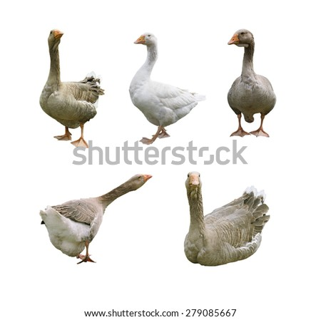 A set of multiple isolated on white background geese in different poses. - stock photo