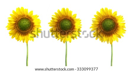 A set of three sunflowers stems isolated over white background - stock photo