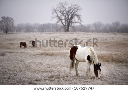 """A """"Shallow Depth of Field"""" landscape shot of an, American Paint Horse / Pinto horse, grazing in very light snow on a ranch in Colorado. - stock photo"""
