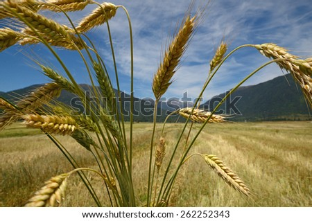 A sheaf of triticale overlooks a harvested paddock. Triticale is a hybrid of wheat (Triticum) and rye (Secale)  typically grown for stock feed. - stock photo