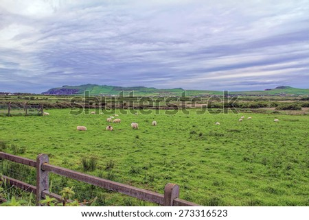 A sheep grazing County Kerry, Ireland - stock photo