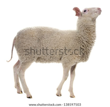 a sheep isolated on white background - stock photo