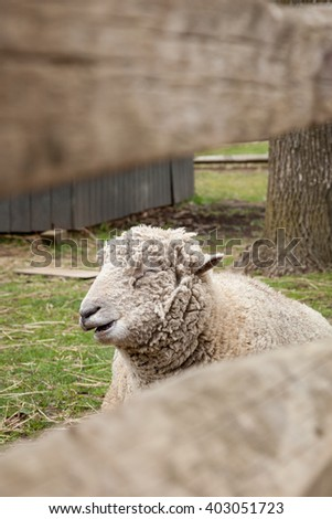 A sheep looks out from behind a wooden farm fence. - stock photo