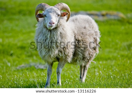 A sheep with horns grazing in the pasture. - stock photo