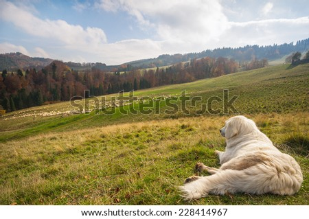 A shepherd dog guarding a sheep flock - stock photo