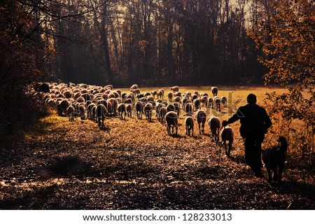 A shepherd is leading his flock to pasture - stock photo