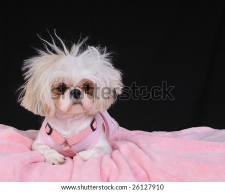 A Shih Tzu Dog with wild hair, having a bad hair day. - stock photo