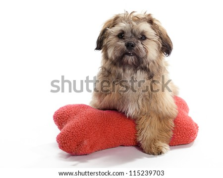 A Shih tzu Poodle mix Guarding a pillow - stock photo