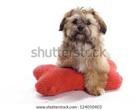 A Shitzu Poodle mix Guarding a pillow - stock photo
