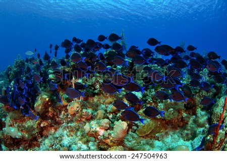 A shoal of Blue Tangs carpet the reef, Grand Cayman - stock photo