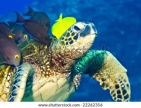 A  shoal of surgeon fish are feeding on the algae growth on the turtle shell.  Big Island, Hawaii. - stock photo