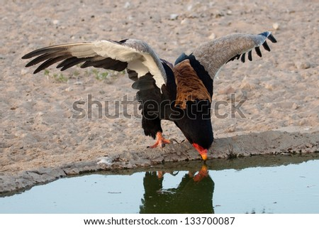 A short tailed eagle drinking - stock photo