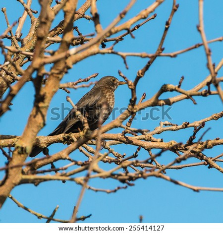 A shot of a blackbird sitting in a tree. - stock photo