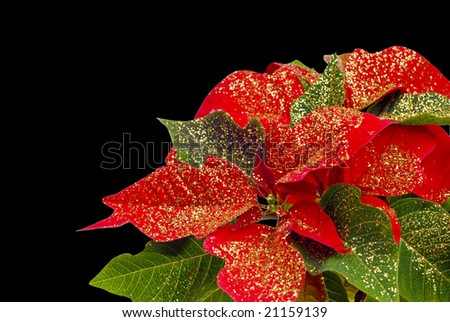 A shot of a decorated poinsetta isolated on black - stock photo