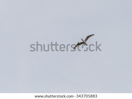 A shot of a herring gull soaring through the sky while calling. - stock photo