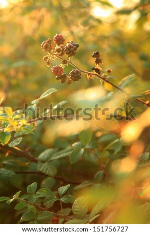 A shot of blackberries in different stages of ripeness, against sunset. Soft focus for very shallow depth of field. - stock photo