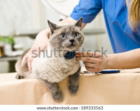 A siamese cat having a examination at a small animal vet clinic - stock photo