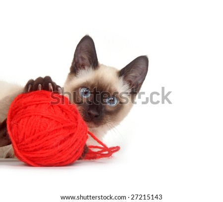 A siamese kitten plays with a red ball of yarn on a white background - stock photo
