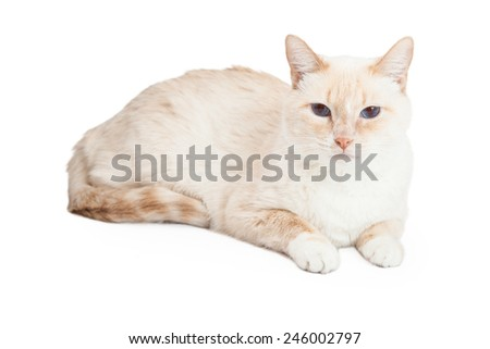 A Siamese Mix Breed Cat laying while looking forward. - stock photo
