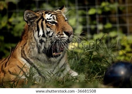 A Siberian (amur) Tiger yawning. - stock photo