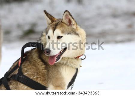 A Siberian husky in harness.  - stock photo