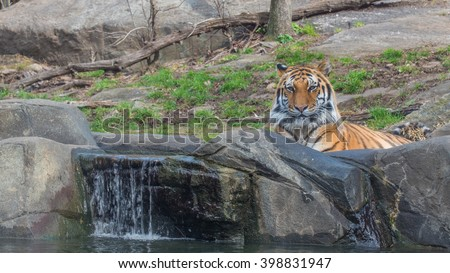 A siberian tiger (Amur Tiger) native of the Russian far east taking a bath - stock photo